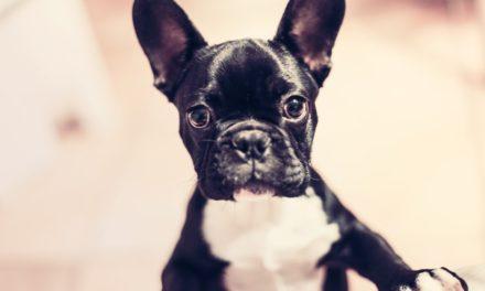 Limbajul trupului la câini și cum să îl înțelegi