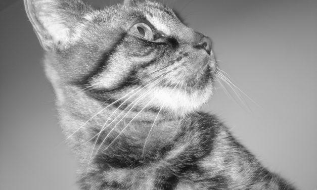 Limbajul trupului la pisici : gesturi și semnificații