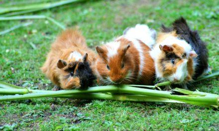 Rozătoarele ca animale de companie