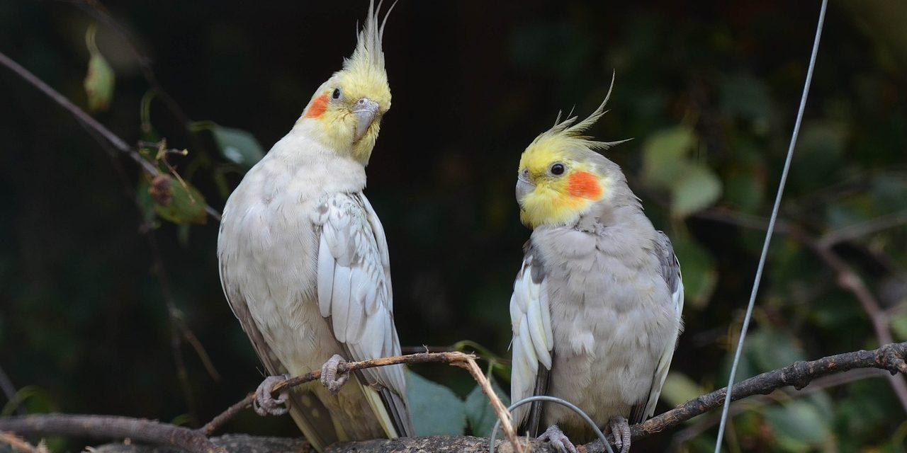 Motive pentru care păsările sunt animale de companie excelente