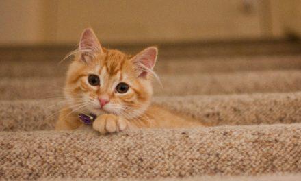 Cum să îngrijești o pisică de casă și o pisică de apartament