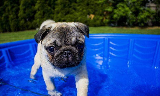Cum să îți protejezi câinele pe timp de caniculă