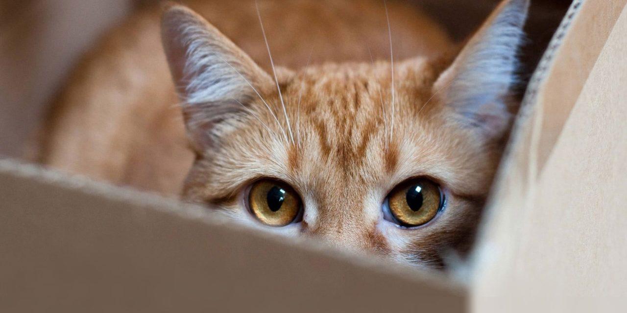 Acomodarea pisicilor intr-o casa nouă