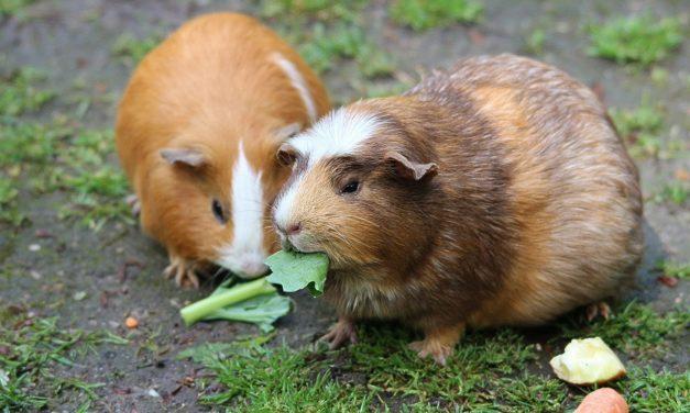 Specii și rase de rozătoare