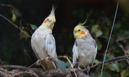 Cele mai populare păsări de colivie
