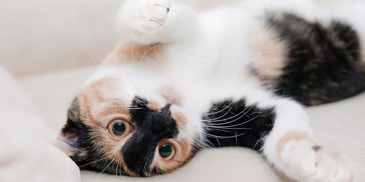 Beneficii pentru sănătate pe care ţi le aduce o pisică