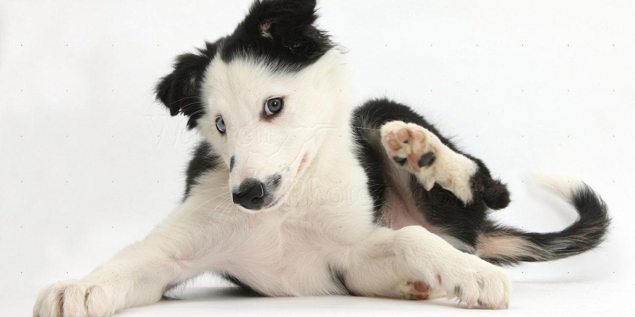 De ce se scarpină câinele meu?