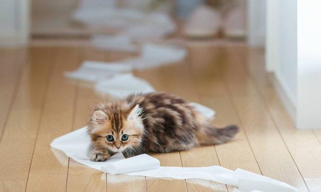 Dresajul de bază pentru pisici
