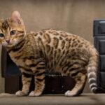 Topul celor mai scumpe rase de pisici din lume