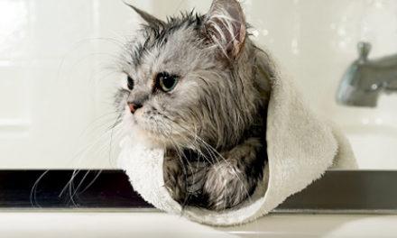 Îmbăierea pisicii – un război permanent?