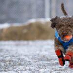 Are nevoie câinele tău de cizme pe timp de iarnă?