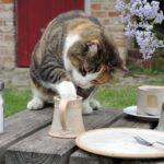 Poate pisica mea să bea lapte?